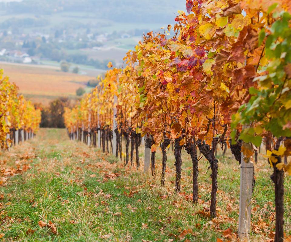 Natjecaj-za-mjeru-Restrukturiranje-i-konverzija-vinograda